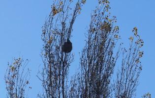 Ninho de vespa asiática em freguesia de Vila do Conde