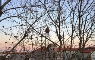 Ninho de vespa asiática em Vila do Conde