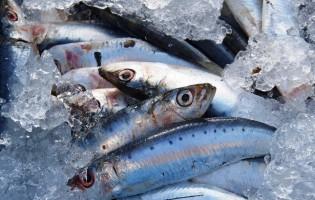 Quota da sardinha aumenta para 17 mil toneladas