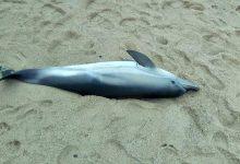 Golfinho morto dá à costa em Vila do Conde