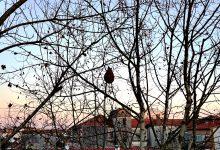 Ninho de vespa asiática destruído em Vila do Conde