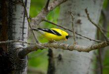 PSP detém dois homens por captura ilegal de aves em Vila do Conde