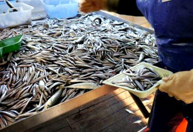 Pescadores de Vila do Conde e Póvoa de Varzim limitados na pesca do biqueirão