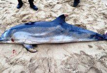 Golfinhos mortos interditam parte da praia do Carvalhido da Póvoa de Varzim