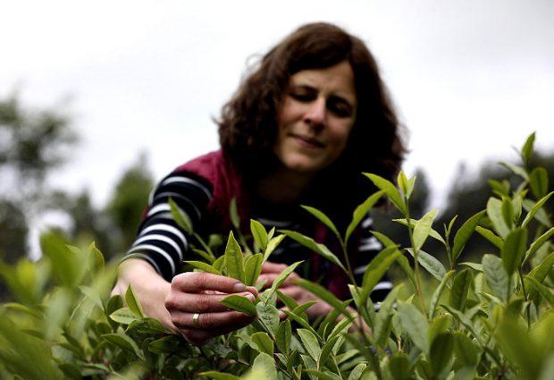 Vila do Conde produz chá envelhecido em pipas de Vinho do Porto e já exporta para Macau