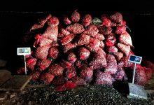 GNR apreende mais de 11 toneladas de amêijoa japonesa em Vila do Conde