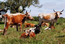 Investigadores do CIBIO-InBIO de Vila do Conde descobrem a origem do gado crioulo das Américas