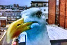 Vila do Conde e Póvoa de Varzim no plano da Área Metropolitana do Porto para controlo de gaivotas