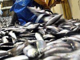 Pescadores do Norte de Portugal refutam acusações do Algarve sobre pesca de biqueirão