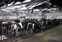 """Produtores de leite de Vila do Conde com """"prejuízos avultados"""" em explorações leiteiras"""