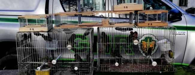 """Homem constituído arguido por """"comércio ilegal de aves"""" na feira da Estela da Póvoa de Varzim"""