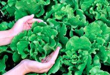 Produtores hortícolas da Póvoa de Varzim sem conseguir vender mais de 200 toneladas de alface