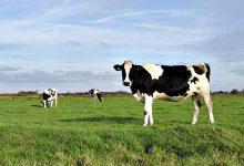 Produtores de leite de Vila do Conde podem vir a perder 83% das ajudas no valor de 9,2M€ até 2026