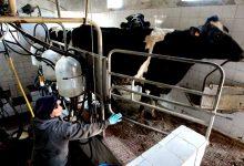 Produtores de leite de vaca portugueses podem vir a perder até 70% das ajudas no final de 2026