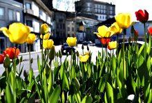 Jardineiros municipais de Vila do Conde plantam manualmente 60 mil bolbos de tulipas naturais