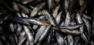 Pesca da sardinha autorizada a partir de 17 de maio com o limite de 10 mil toneladas a rever