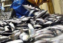 Pesca da sardinha volta a estar proibida até 21 de maio