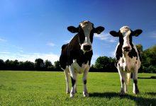 Produtores de leite da Póvoa de Varzim podem perder 84% das ajudas no valor de 3,9M€ até 2026