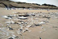 Empresa que detém Campo de Golfe avança com limpeza de praia da Estela na Póvoa de Varzim