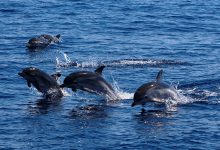 Golfinhos desfilam em Vila do Conde