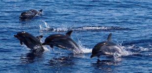 UP contabiliza 41 grupos de golfinhos no verão nas águas marinhas entre Caminha e Espinho